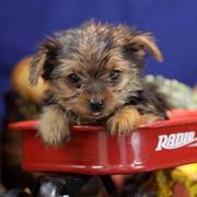 Yorkshire Terriers puppies for sale