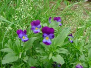 Viola Tricolor - Beautiful and Edible