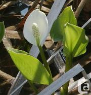 12 Water Arum (Wild Calla Lily) - for the pond